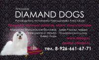 Мальтезе, джек рассел терьер, померанский шпиц, йорк. Питомник декоративных собак Diamand Dogs.